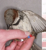 Complexity and integration in sexual ornamentation: an example with carotenoid and melanin plumage pigmentation