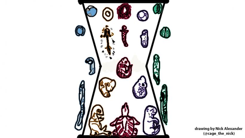Developmental Hourglass
